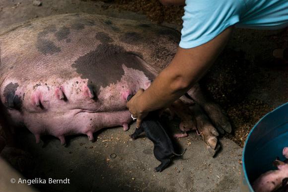 Breeding pigs in family farming in Costa Rica. New born piglets.