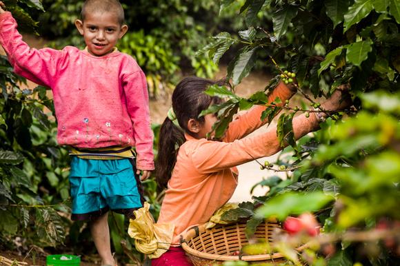 Coffee Harvest in Costa Rica