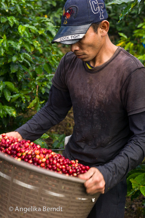 Coffee harvest in Costa Rica