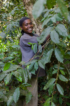 Woman picking wild coffee